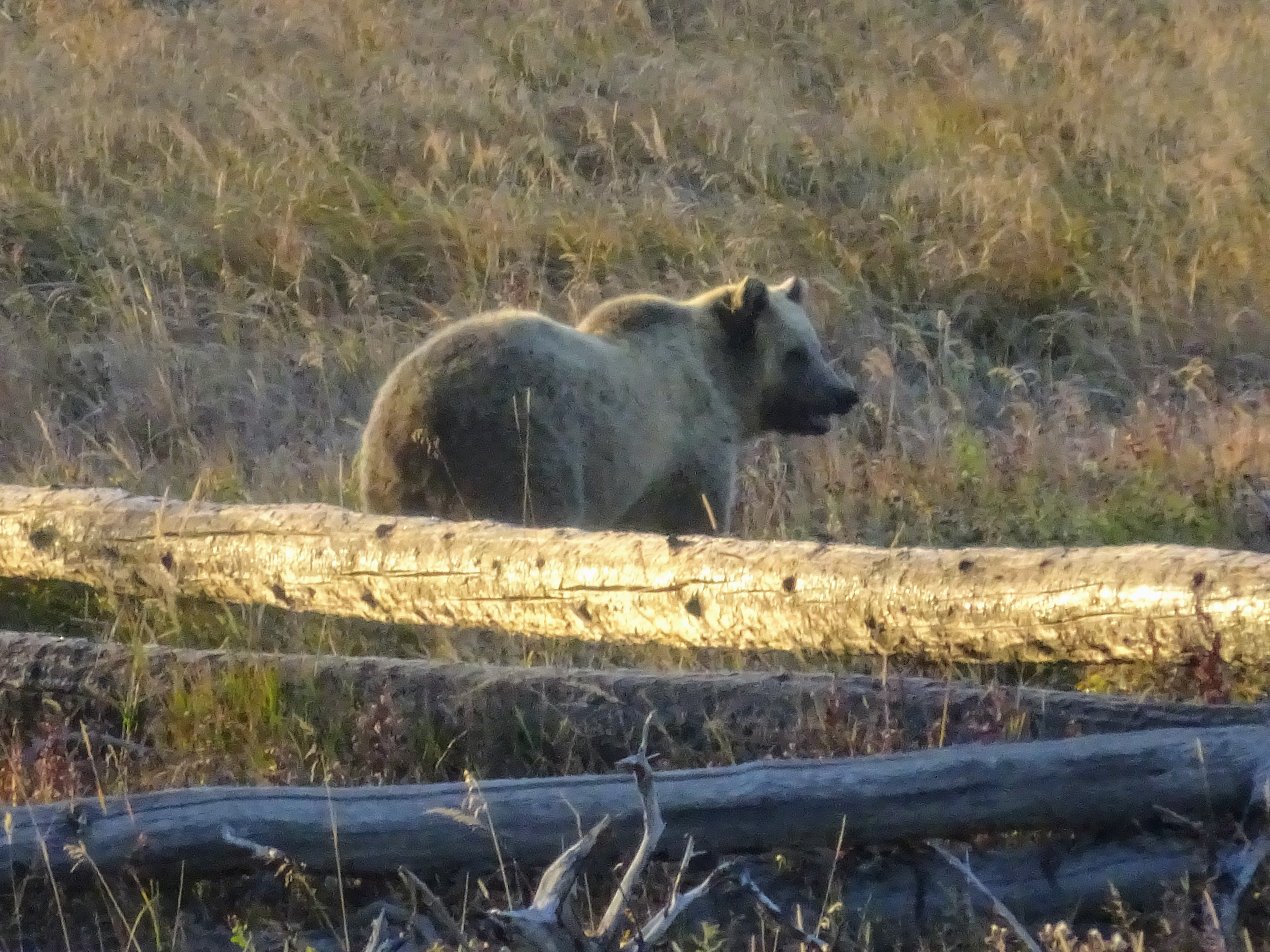 Yellowstone animals - Our First Grizzly