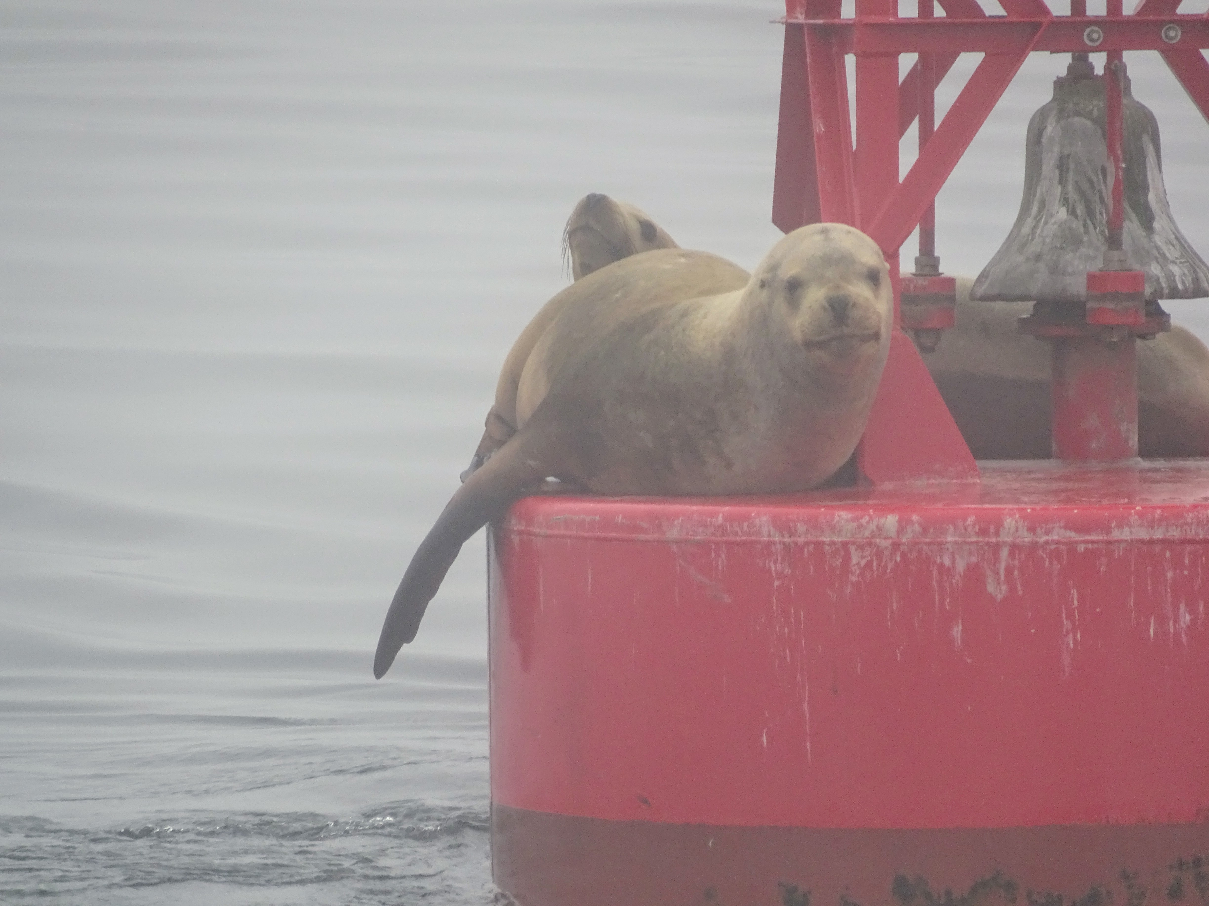 Anacortes whale watching - Sea Lions