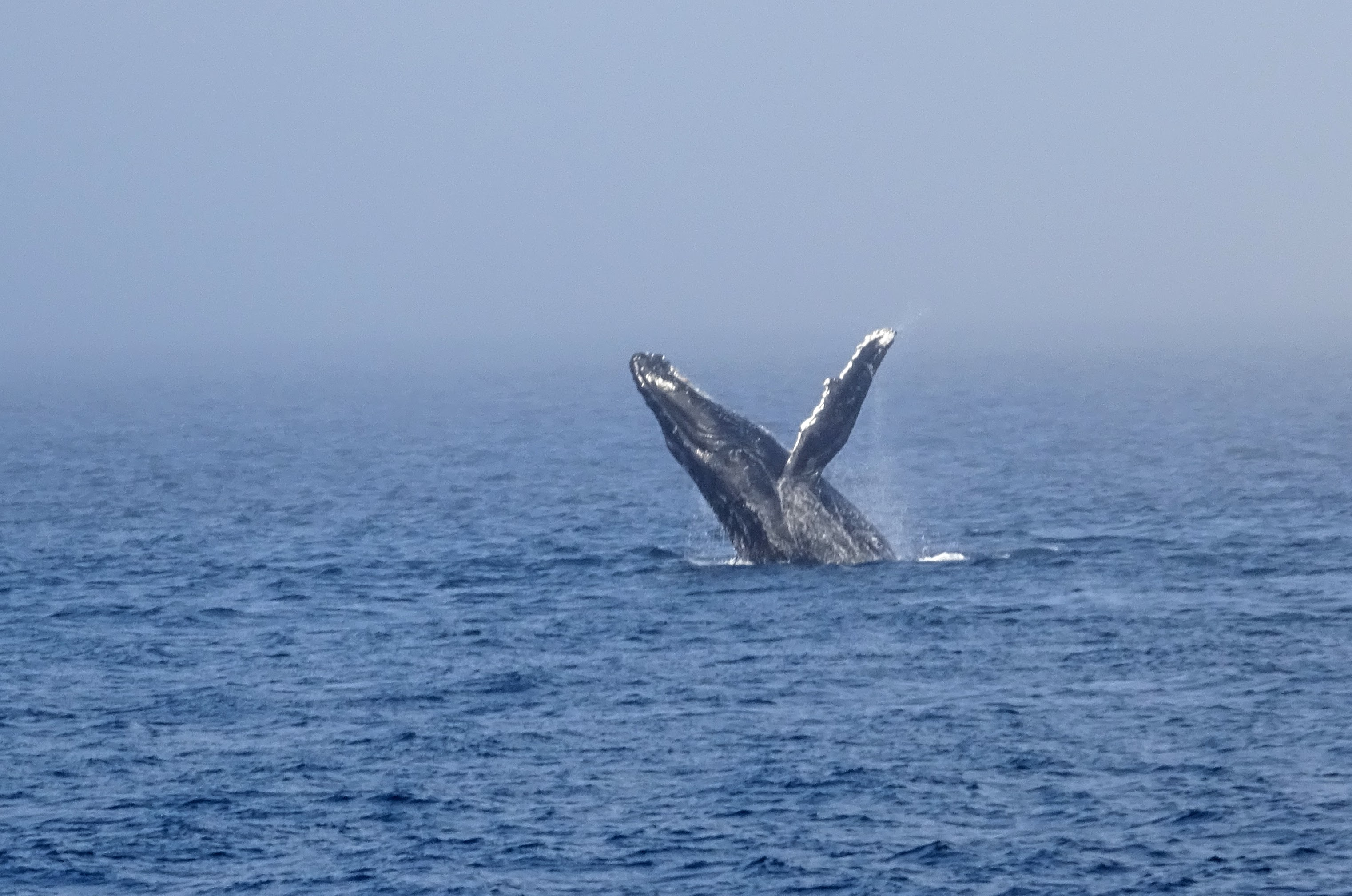 Anacortes whale watching - Humpback Whale