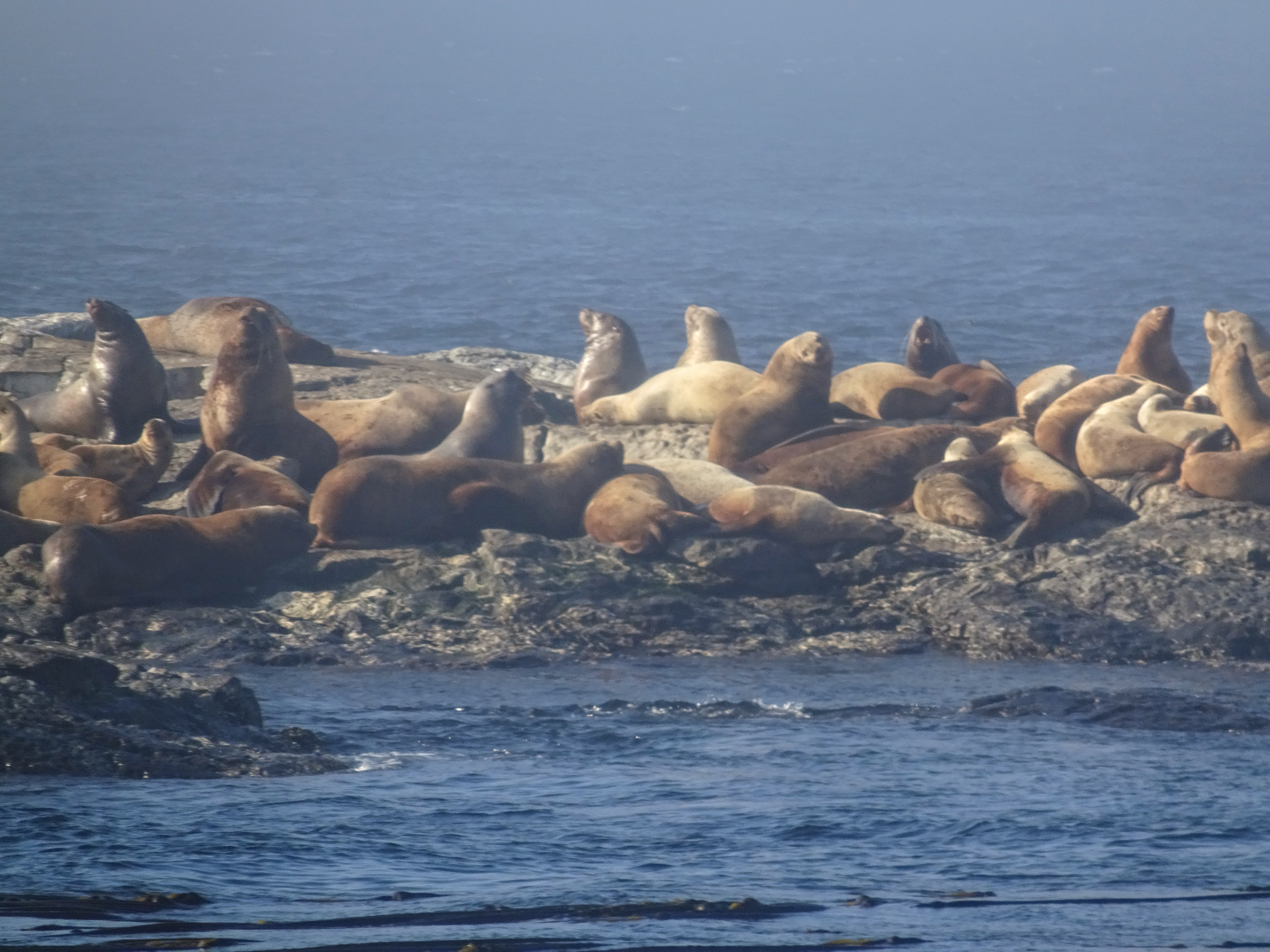 Anacortes whale watching - Sea Lions At Race Rocks